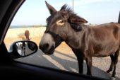 Esel, Nordzypern, Mietwagenreise