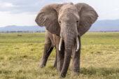 Tansania-Erlebnisreise-Tarangire Nationalpark-Graslandschaft-Elefant