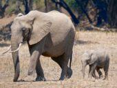 Erlebnisreise-Sambia-Elefanten