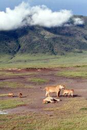Tansania-Erlebnisreise-Ngorongoro Krater-Löwenfamilie