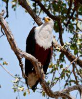 Erlebnisreise-Sambia-Fischadler