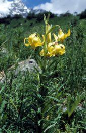 Georgien-Wanderreise-Gelber-Rhododendron-am-Wegesrand-der-Suruldwanderung