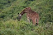 tansania-individualreise-giraffe