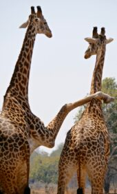 Erlebnisreise-Malawi-Giraffen