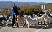 Kroatien-Wanderreise-Ziegenherde
