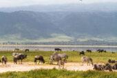 Tansania-Erlebnisreise-Ngorongoro Nationalpark-Pflanzenfresser