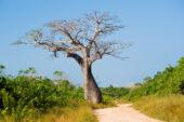 Tansania-Erlebnisreise-Safari-Baobab-Savanne-Baum