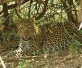 Erlebnisreise-Malawi-Leopard