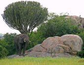 tansania-individualreise-elefant-baum