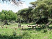 tansania-individualreise-tierbeobachtungen-zebras