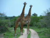 tansania-individualreise-giraffen-wildleben