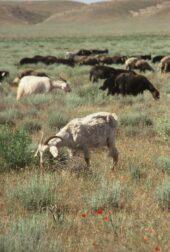 Usbekistan-Erlebnisreise-Schafe