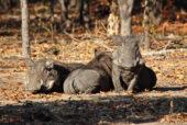 Erlebnisreise-Malawi-Warzenschweine