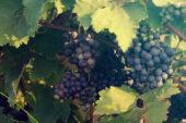 Georgien-Weinreise-trauben