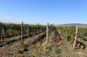 Georgien-Weinreise-weinfelder-kachetien