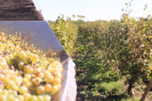 Georgien-Weinreise-weinlese-weiße-trauben