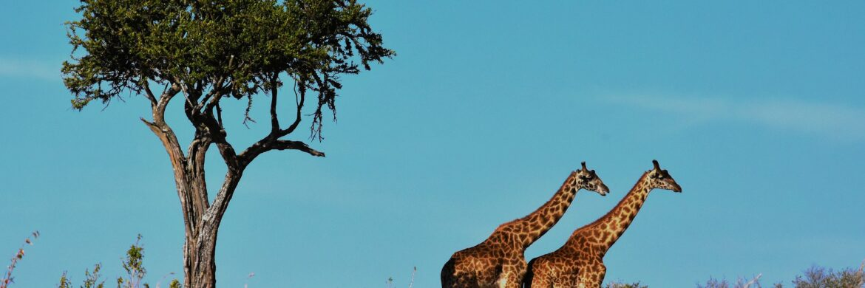 tansania-erlebnisreise-giraffen