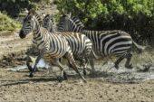 tansania-erlebnisreise-zebraherde